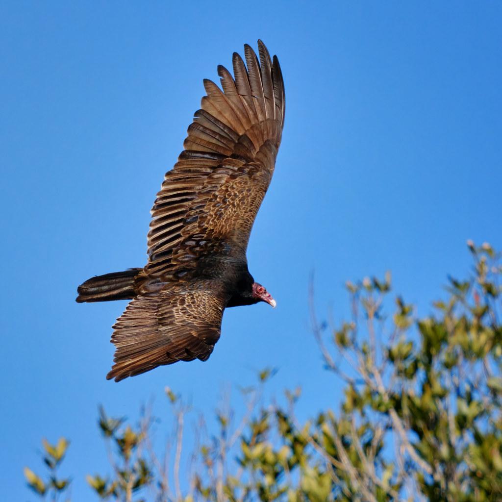 Banking: Turkey Vulture