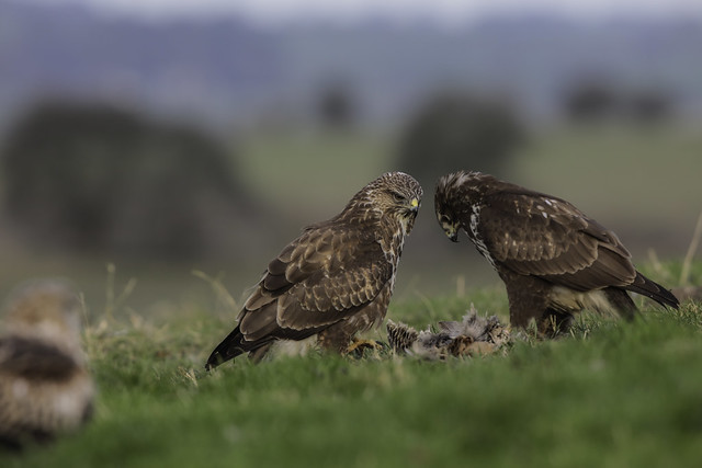 Buzzards pondering over the remnants of a kill - (Buteo buteo) 2 clicks for large