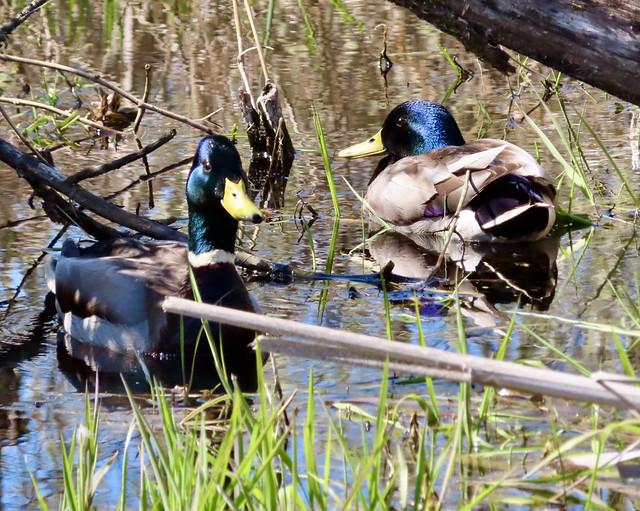 Blue Headed Mallard Ducks?