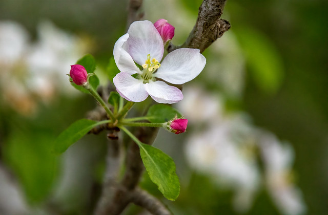tree blossom in April