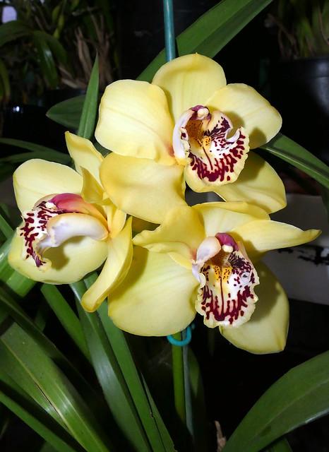 Cymbidium Kelly's Winter 'Phyllis' hybrid orchid 3-21