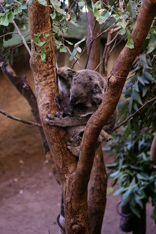 Koalas Chloe (large) and Louis (small), Blackbutt Reserve