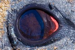 Elephant Seal close up shot @ Whale/Kelp Point, Falkland Islands