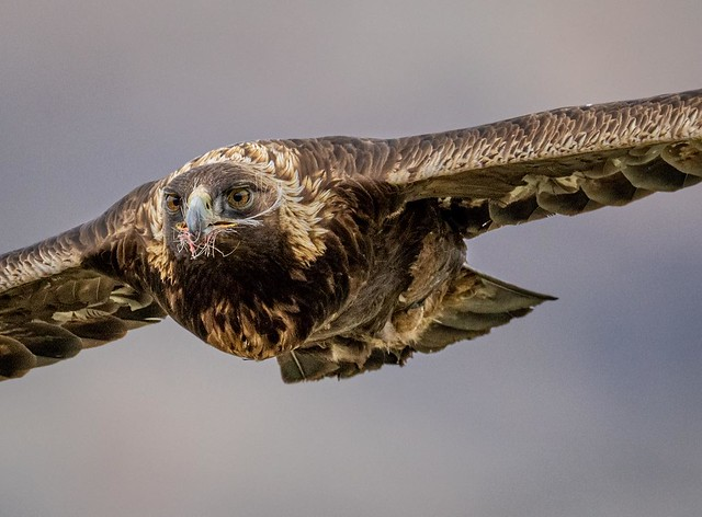 My wife Jane saw this Golden Eagle while we were driving to dinner tonight. It was feeding on a deer carcass. It took off, circled around and flew right over our car. Wapiti, Wyoming. April, 2021.