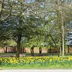 Daffodil wall at Ashton Park, Preston
