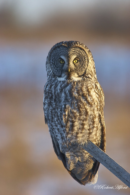 Great Gray Owl7061 1