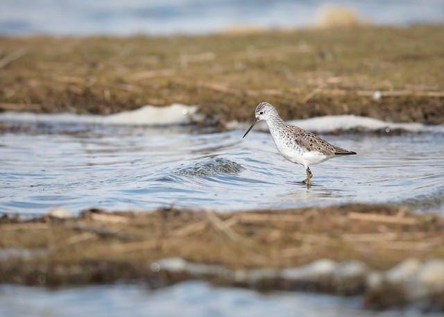 Tringa stagnatilis / Marsh Sandpiper / poelruiter