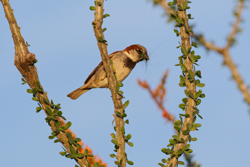 A male house sparrow holds leaves and fur in his beak as he perches on a leafy branch of an ocotillo in Scottsdale, Arizona on April 11, 2021. Original: _RAC6982.arw