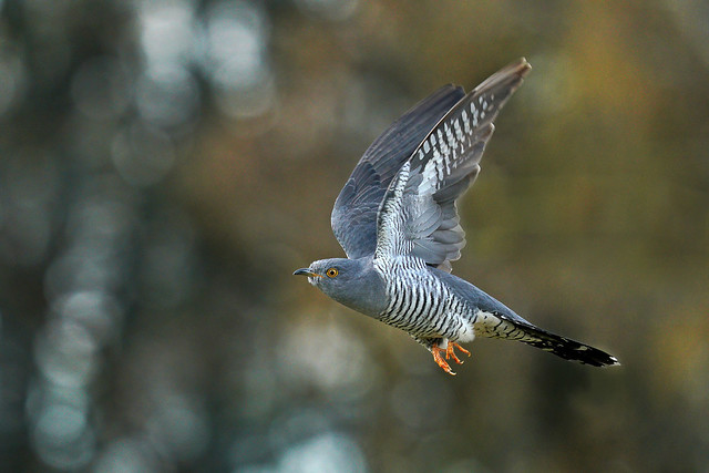 365 - Image 106 - Cuckoo in flight...