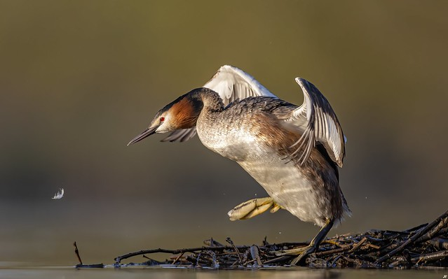 Great-Crested Grebe.