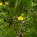 Stechendes Sternauge (Pallenis spinosa) (2)