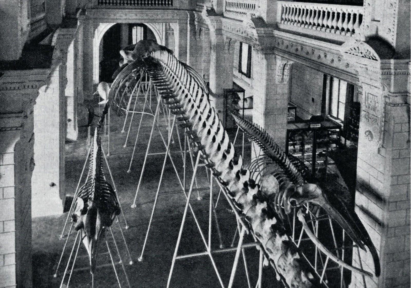 1901. Зоологический музей. Скелет полярного кита