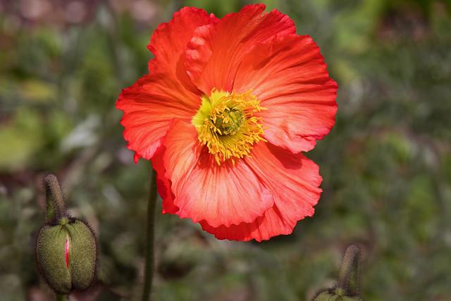 Gelincik Çiçeği ve Tomurcuk
