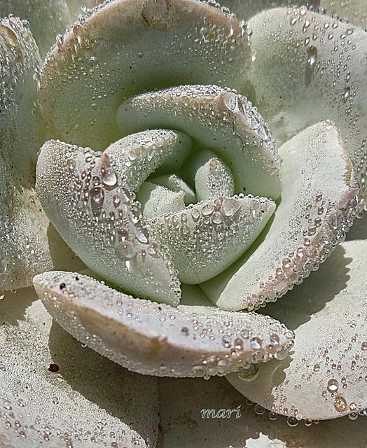Echeveria Caly Argentea