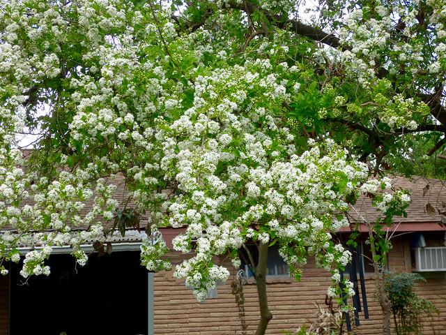 Anacua Tree