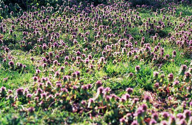 An ocean of violet in bloom...