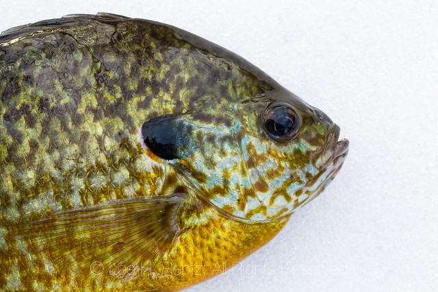 Bluegill Caught while Ice Fishing on a Michigan Lake