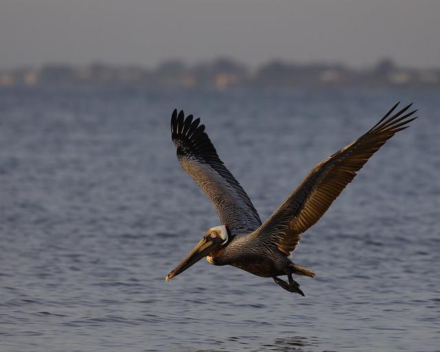 Brown Pelican Flyby
