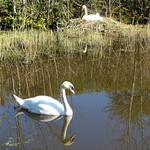 Nesting swans at the canal