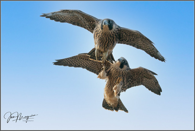 Young Peregrine Air Games 9425