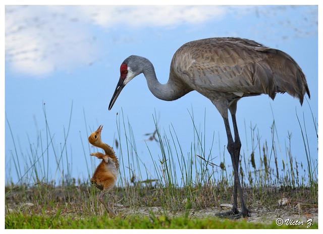 Mom and baby sandhill crane, Lake Mary Florida --669
