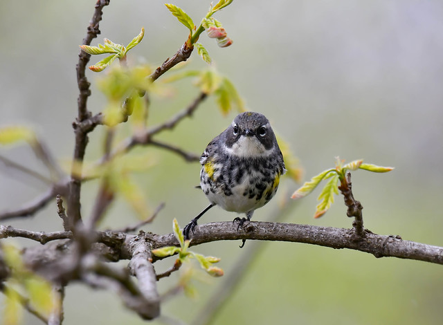 Juvenile Male Yellow-rumped Warbler