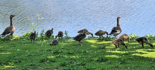 Greylag goose and goslings, 2020