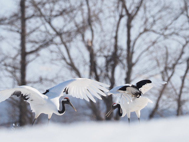 Japanese red-crowned crane in Ito Tancho Sanctuary,Tsurui village,Hokkaido 2021/03 No.2.