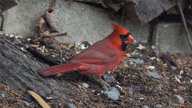 Cardinal rouge mâle - Northern Cardinal - Québec, PQ, Canada - 3693