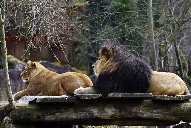 Löwe auf Hyänenbeobachtung