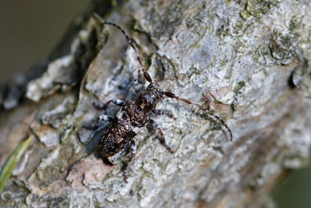 Beetle (Pogonocherus fasciculatus) Större tallkvistbock