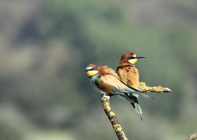 Abelharuco-europeu, European Bee-eater