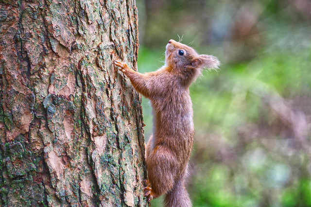 ~ Red Squirrel ~ Aiming high ~