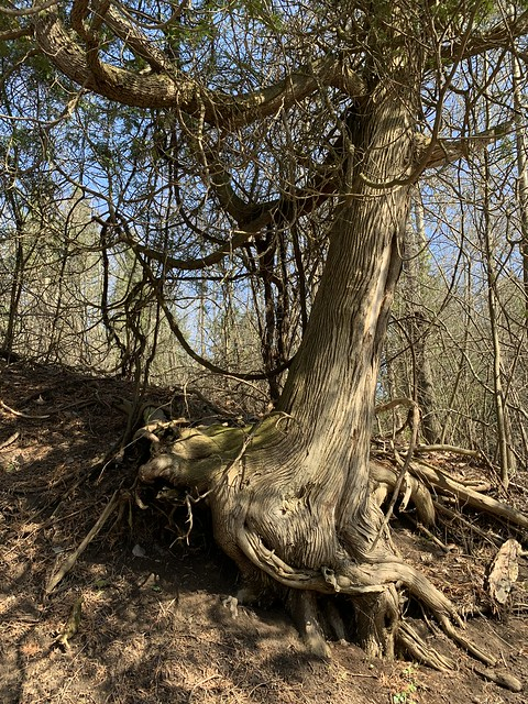 Large leaning tree , found at a  walk on a beautiful trail trough the Ganaraska Millennium Conservation Area that is east of the Ganaraska river this spring , Martin's photographs , Port Hope, Ontario , Canada , April 14. 2021