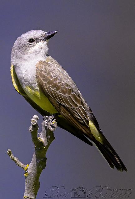 Western-Kingbird_05