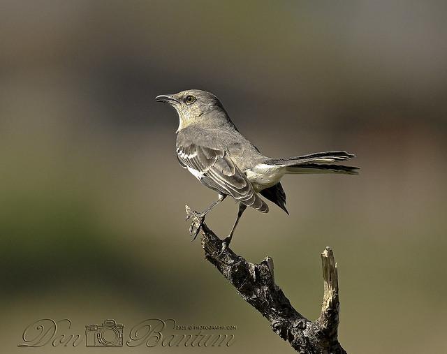 Northern_Mockingbird_02