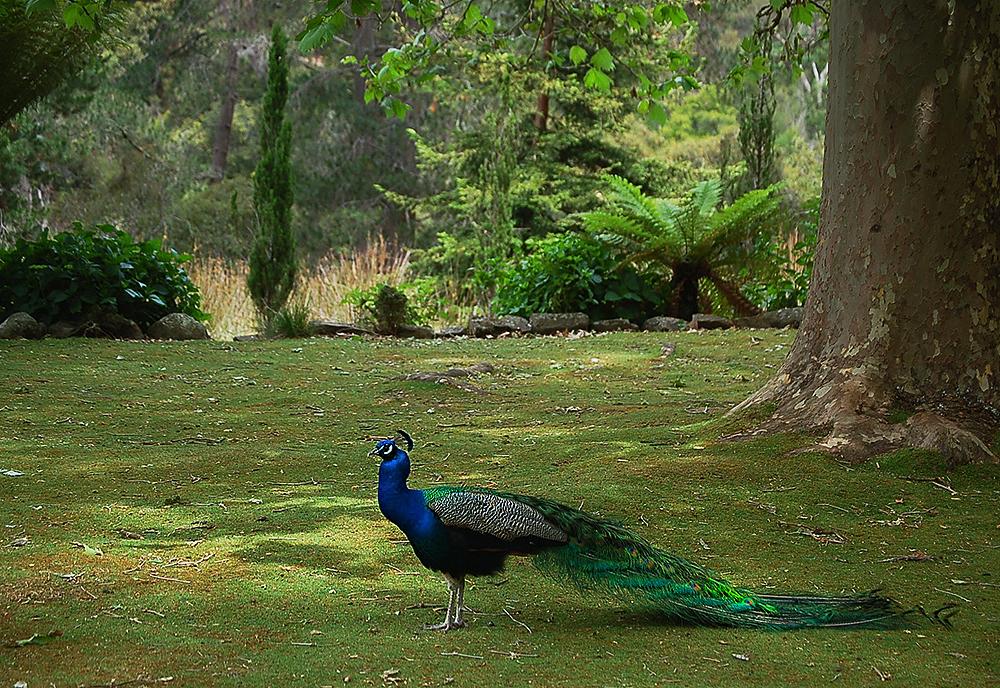 _Zig-zag_reserve__peacock_1_