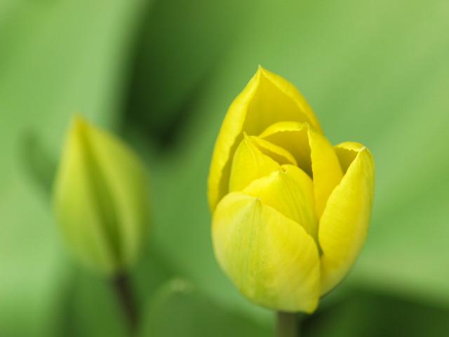 Tulpen aus dem Garten
