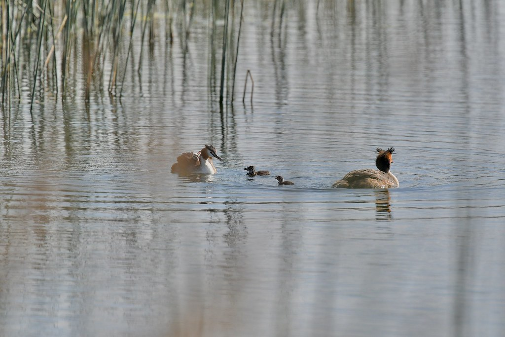 Great crested Grebes ( all back to Mum )