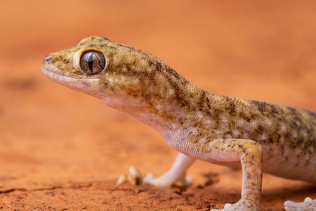 Tessellated Gecko - Diplodactylus tessellatus