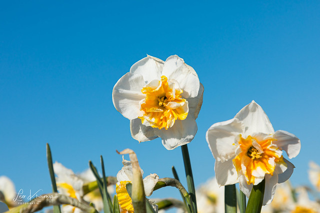 Daffodil   Narcis
