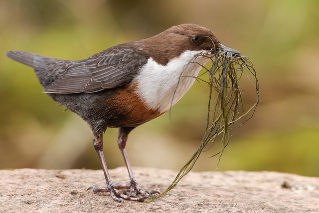 My local Dipper putting finishing touches to its nest
