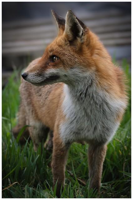 Foxy Lady …