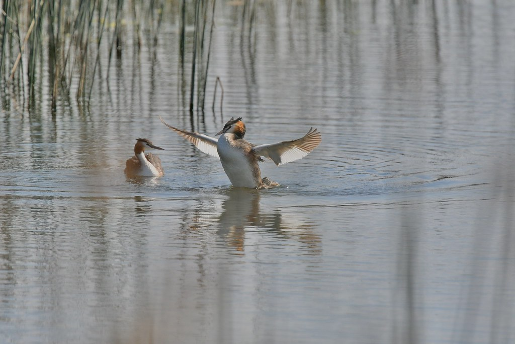 Great crested Grebes ( play time )