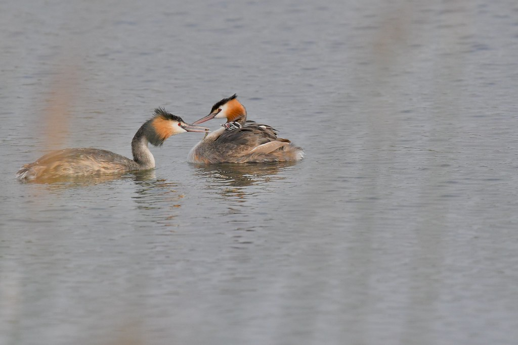 Great crested Grebes feeding time )