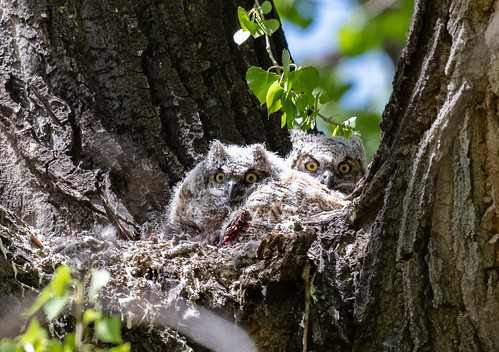 great_horned_owl_young-20210416-100
