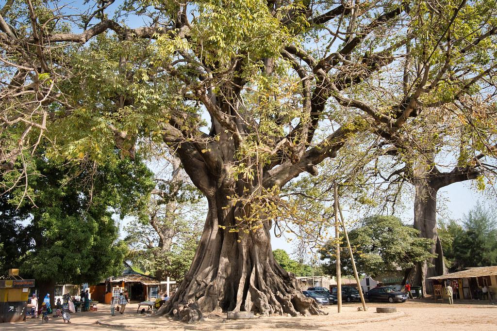 Kapokiers in Djebering (Casamance)