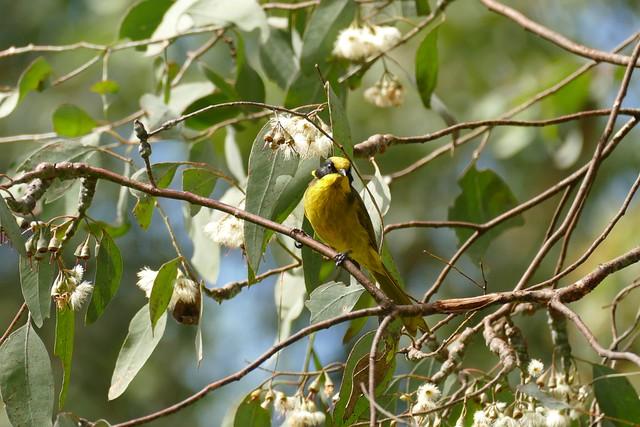 Yellow-Tufted Honeyeater(Lichenostomus melanops)Cessnock New South Wales