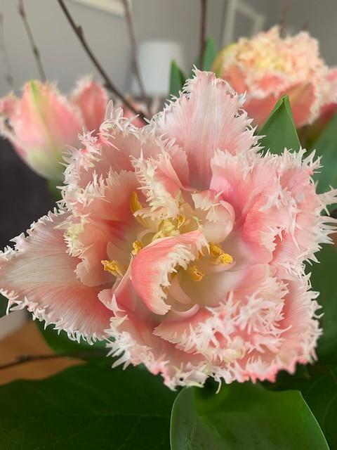 Tulpen zum Geburtstag.