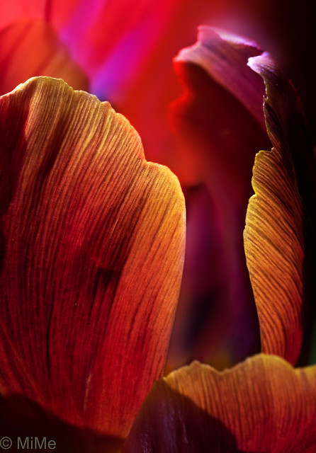 Tulpen-Detail
